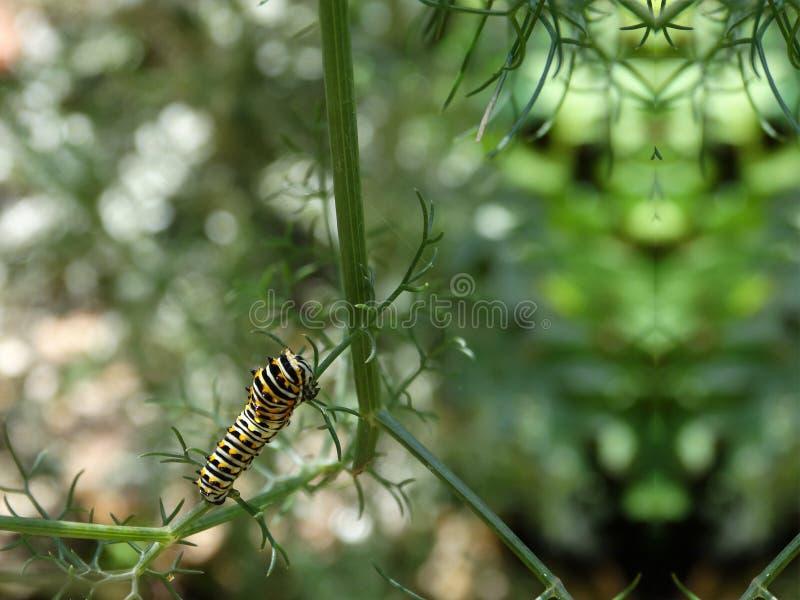 Caterpillar Czarny Swallowtail motyl zdjęcie royalty free