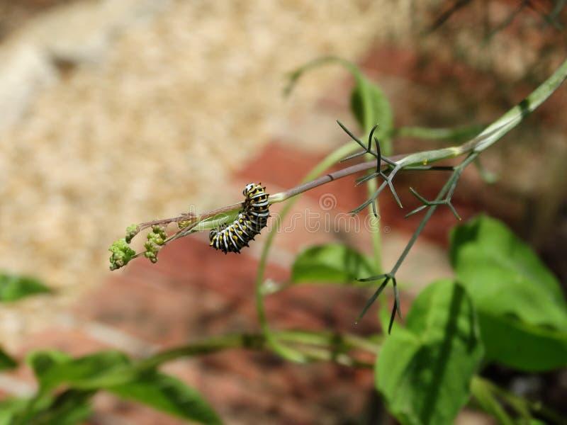 Caterpillar Czarny Swallowtail motyl obraz stock