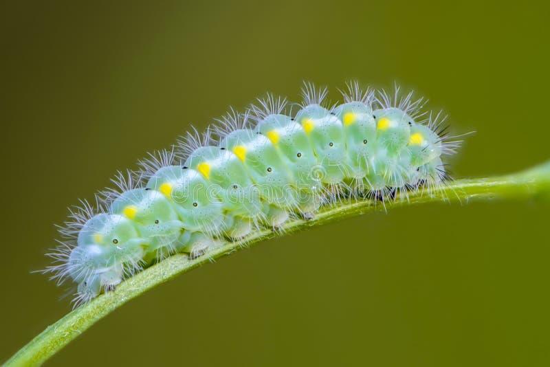 Caterpillar d'émeraude de viciae de zygaena de papillon colorent photo stock