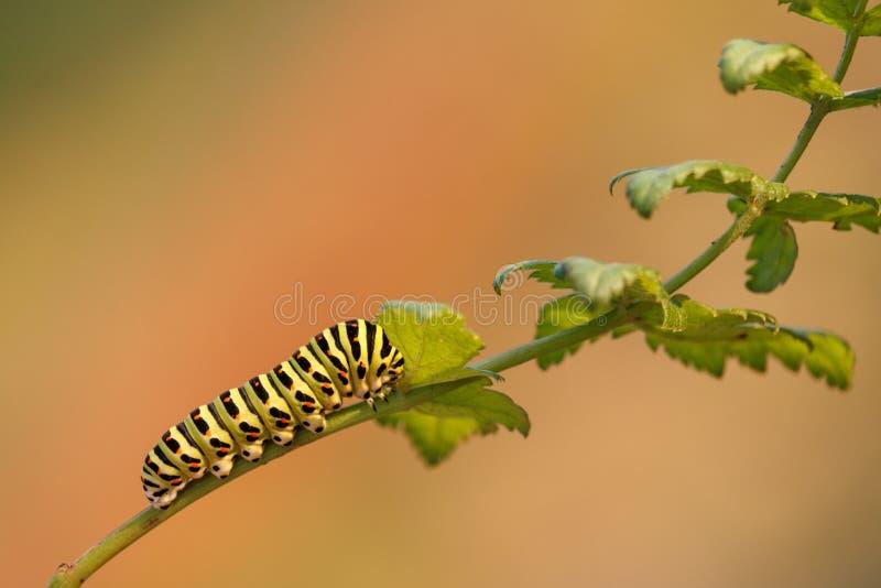 Caterpillar d'un machaon jaune commun de Papilio de machaon sur la plante verte avec l'orange a brouillé le fond image stock