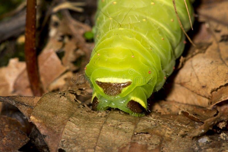 Caterpillar d'une mite de Luna en bois de New Hampshire images stock