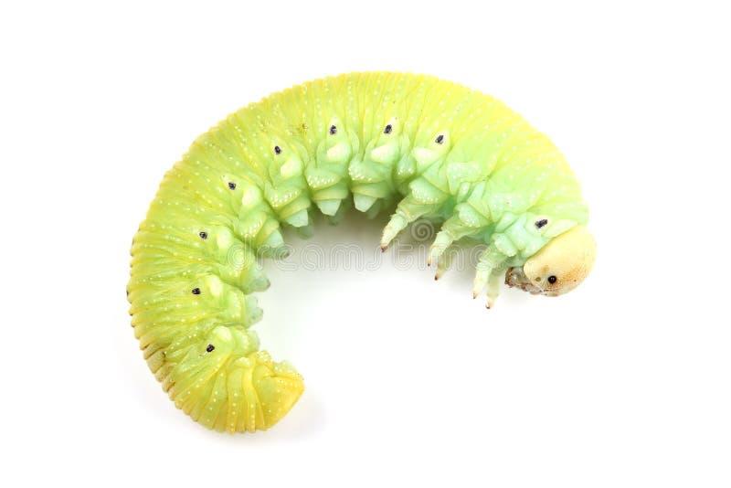 Caterpillar de tenthrède de bouleau d'isolement sur le blanc photos stock