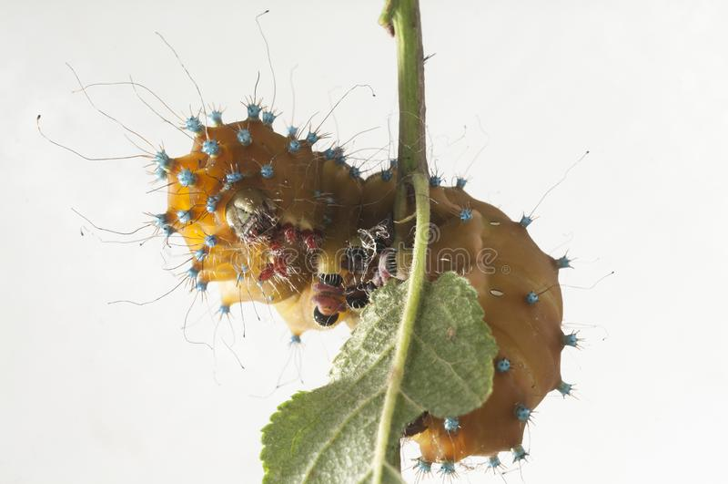 Caterpillar del lepidottero gigante del pavone, pyri di saturnia fotografie stock
