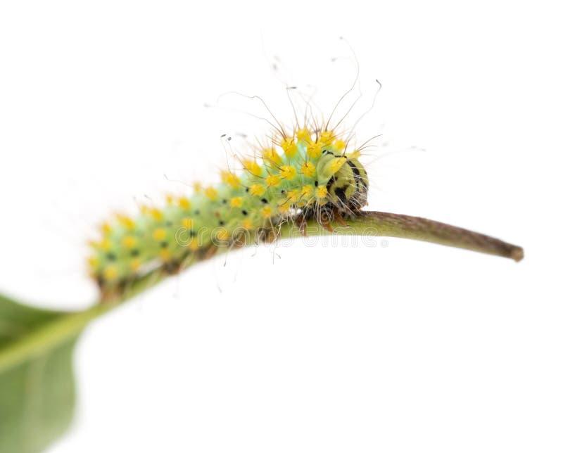 Caterpillar del lepidottero gigante del pavone sul gambo, pyri di saturnia immagine stock libera da diritti