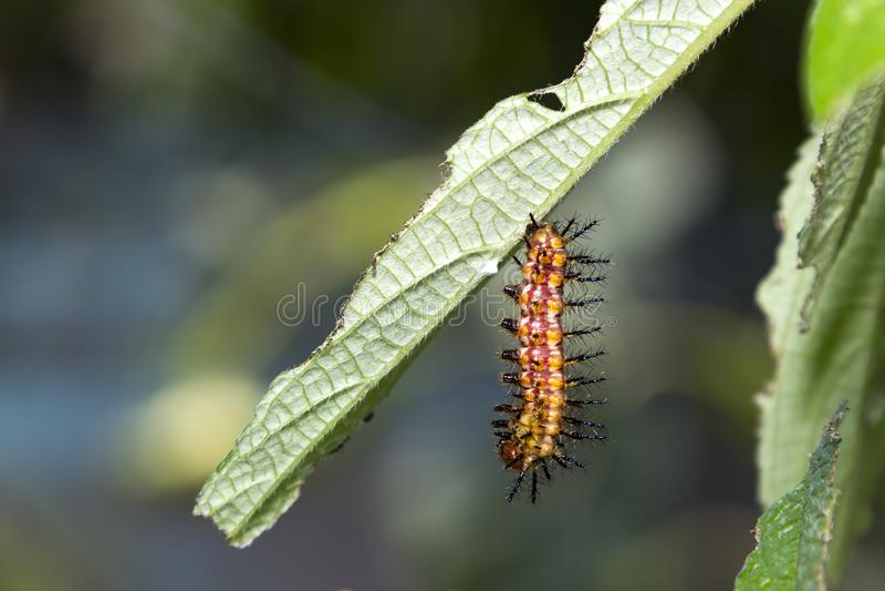 Caterpillar del restin giallo di issoria di Acraea della farfalla del coster fotografia stock