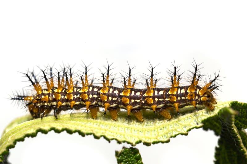 Caterpillar del restin giallo di issoria di Acraea della farfalla del coster immagine stock libera da diritti