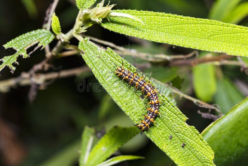 Caterpillar del restin giallo di issoria di Acraea della farfalla del coster fotografie stock libere da diritti