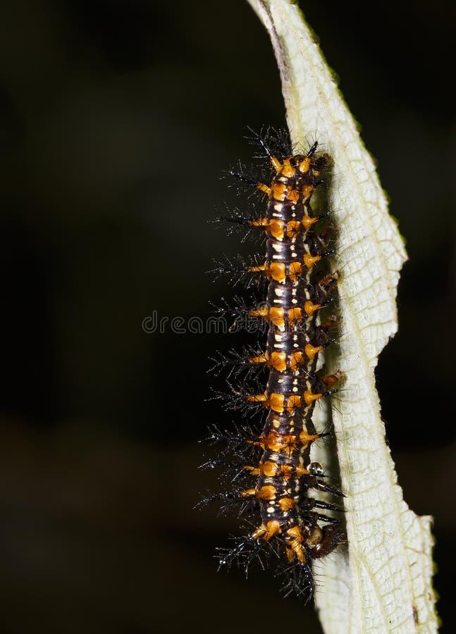 Caterpillar del restin giallo di issoria di Acraea della farfalla del coster fotografia stock libera da diritti