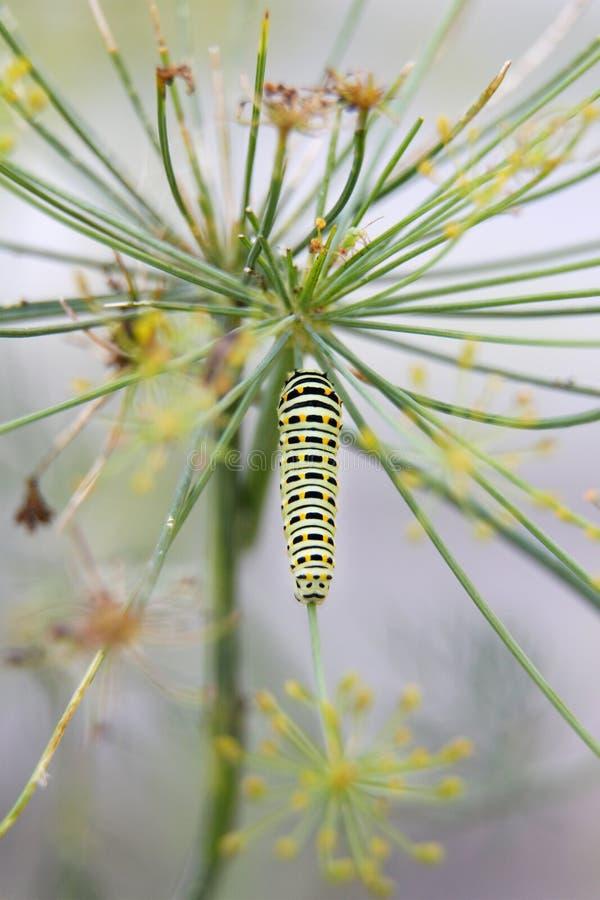 Caterpillar della coda di rondine della farfalla - il machaon, si alimenta l'aneto - fotografia stock libera da diritti