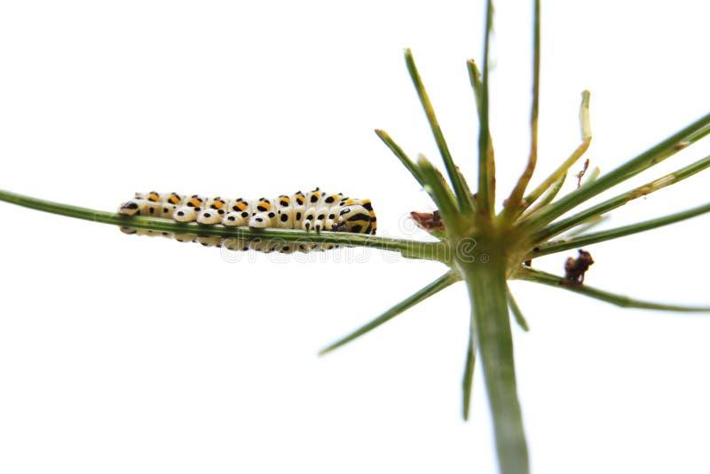 Caterpillar della coda di rondine della farfalla - machaon, si alimenta l'aneto - finocchio, vista dal basso immagini stock libere da diritti