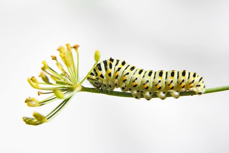 Caterpillar della coda di rondine della farfalla - machaon, si alimenta l'aneto - finocchio, vista laterale immagine stock