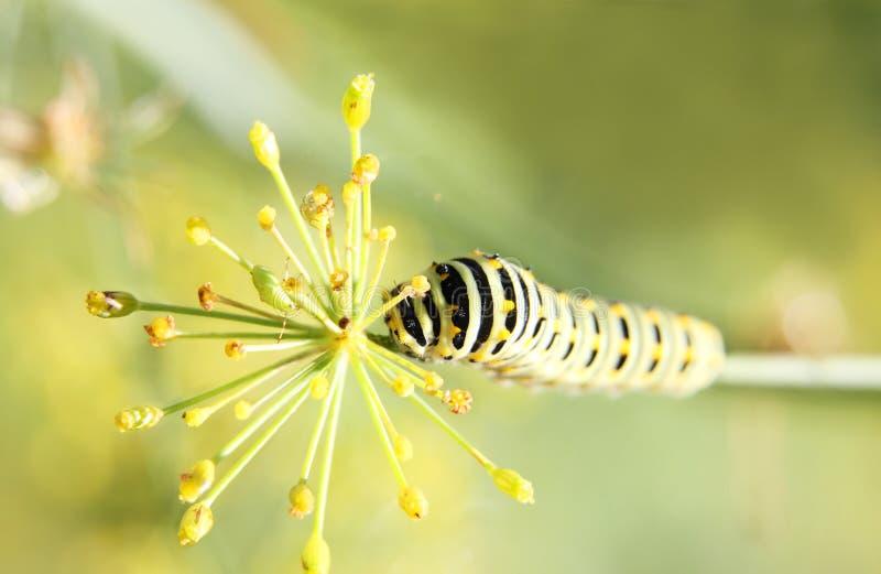 Caterpillar della coda di rondine della farfalla - machaon, si alimenta l'aneto - finocchio, vista superiore fotografia stock
