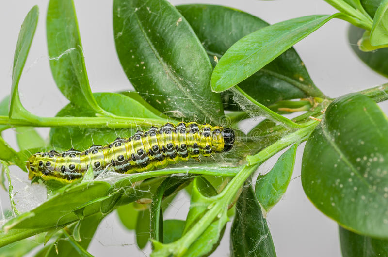 Caterpillar der Kastenbaummotte stockbilder