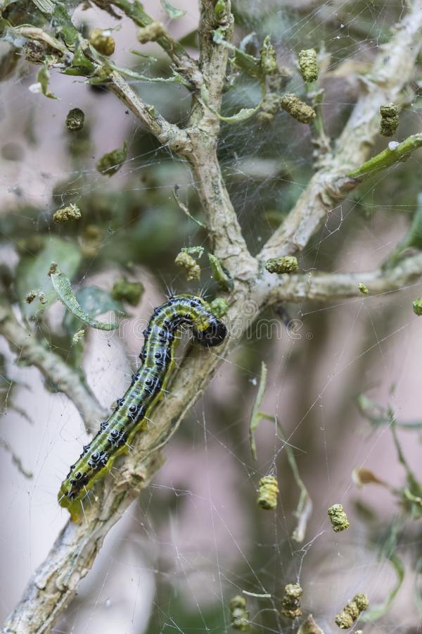 Caterpillar der Kastenbaummotte, die Buxus isst, verlässt, in beschädigt lizenzfreie stockfotografie