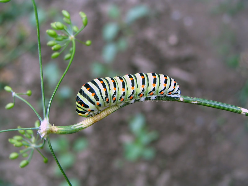 Caterpillar on the dill stock photo