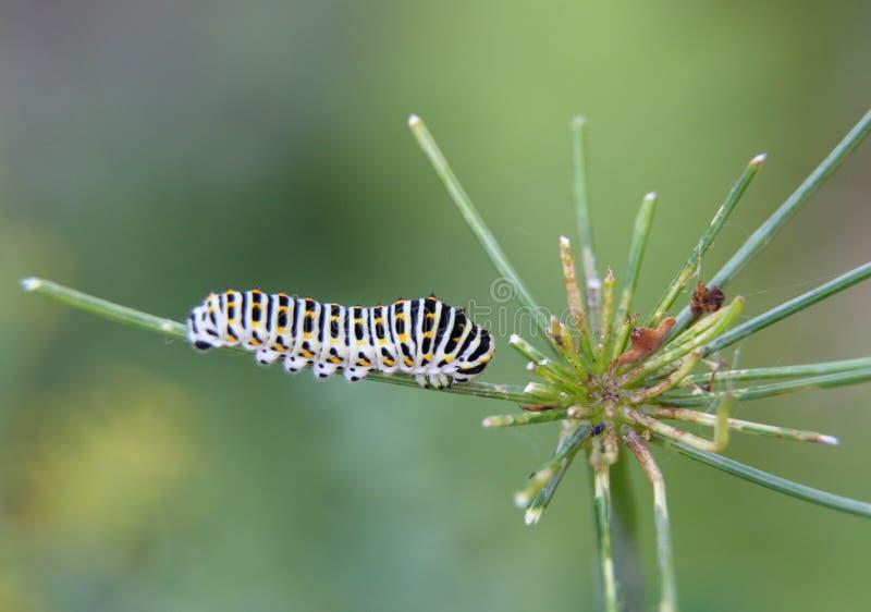 Caterpillar do machaon da borboleta, alimentações no aneto - erva-doce fotografia de stock