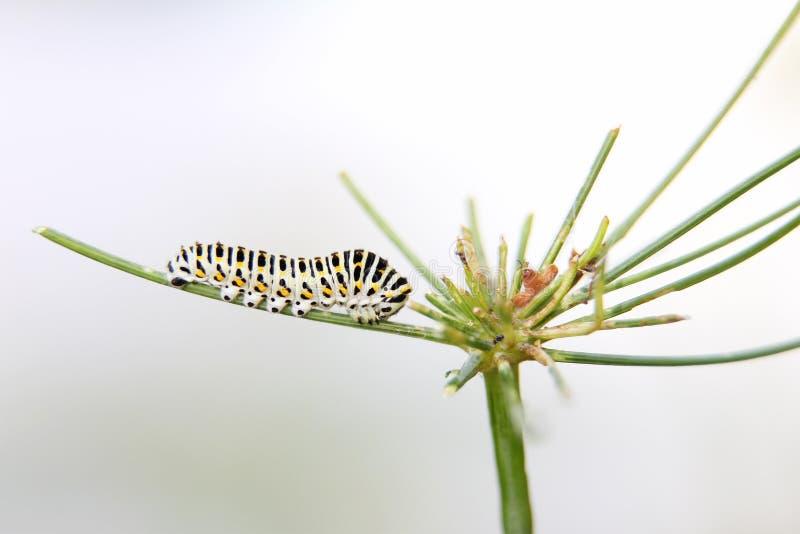 Caterpillar do machaon da borboleta, alimentações no aneto - erva-doce, vista lateral imagens de stock royalty free