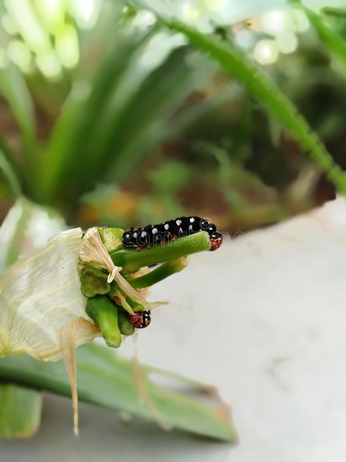 Caterpillar. Doing lunch in rainy season royalty free stock photos