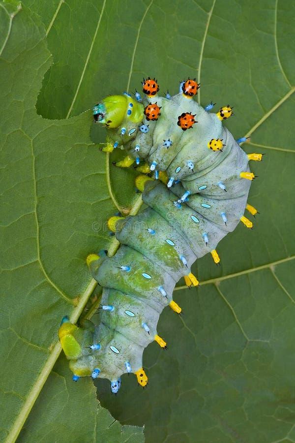 Caterpillar Eating stock images