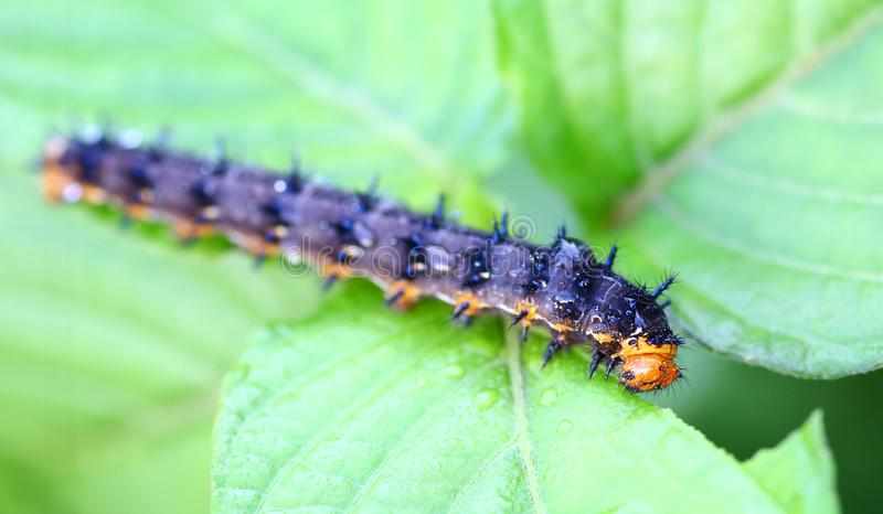 A caterpillar eating a leaf.  stock photography