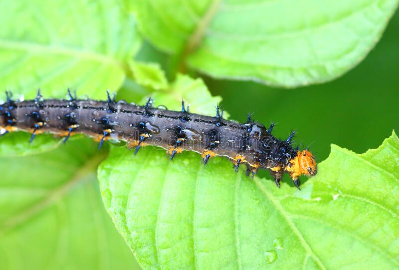 A caterpillar eating a leaf.  royalty free stock image