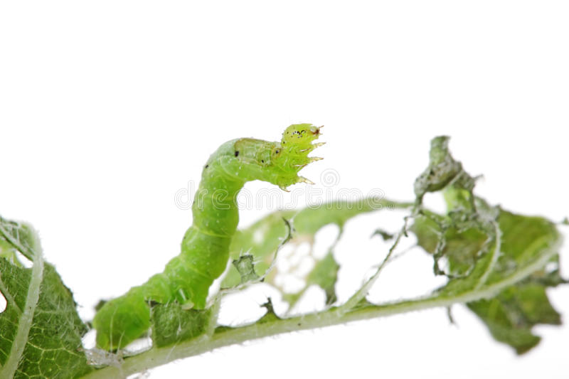Caterpillar eating a plant stock photo