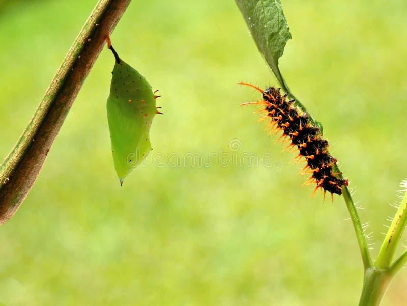 Caterpillar eines rostigen gespitzten Seitenschmetterling spiroeta epaphus, das auf ein Blatt vor Puppen kriecht, verwischte grün lizenzfreie stockfotografie
