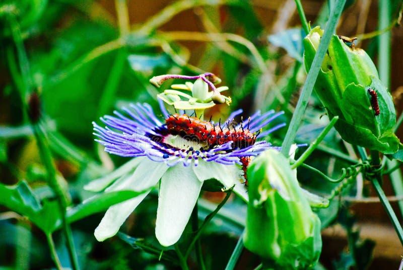 Caterpillar en la flor púrpura foto de archivo libre de regalías