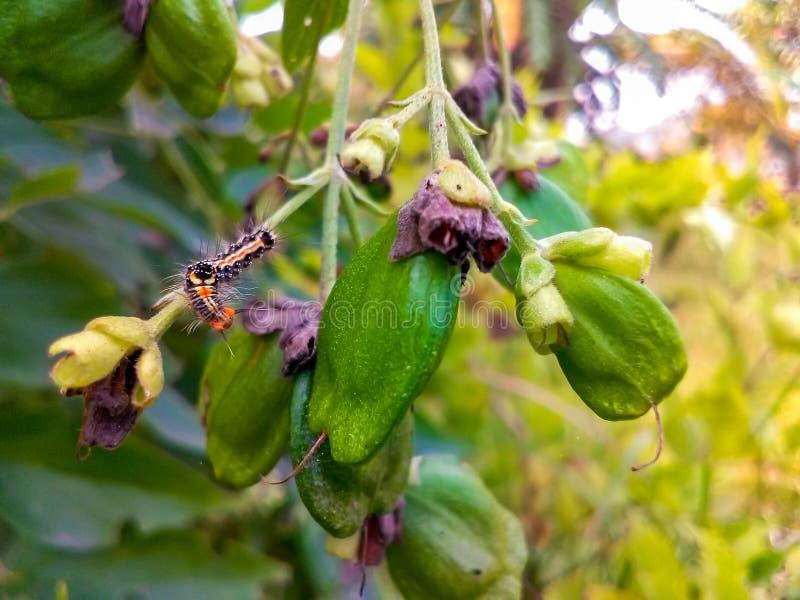 Caterpillar en un árbol que come la hoja foto de archivo