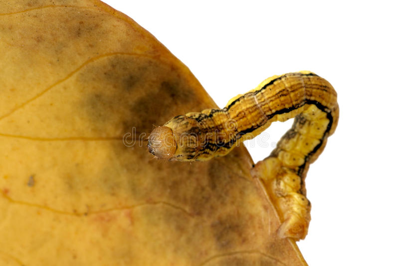 Caterpillar (Erannis defoliaria). Isolated on a white background royalty free stock image