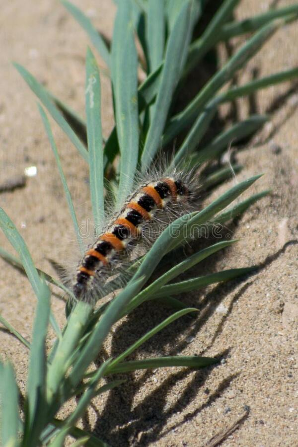 Caterpillar on fallen branch in the sand royalty free stock photos