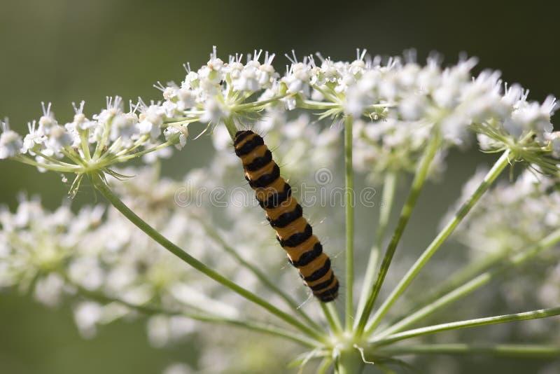 Caterpillar on flower stock photos