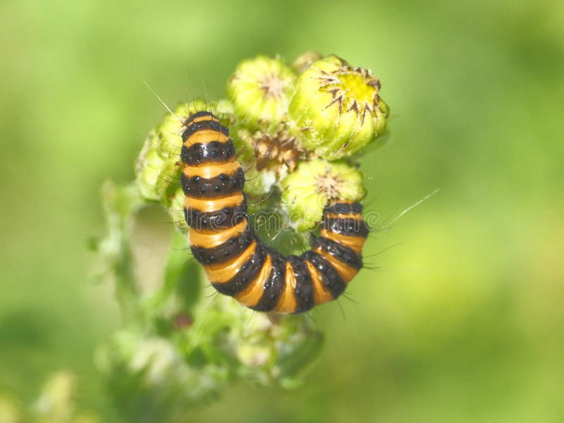 Caterpillar on a flower stock photography
