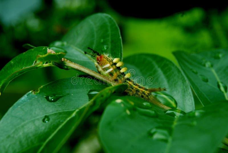 Caterpillar in foglia verde fotografie stock
