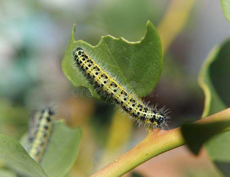Caterpillar giallo fotografia stock libera da diritti