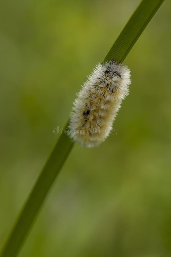 Caterpillar giallo immagini stock