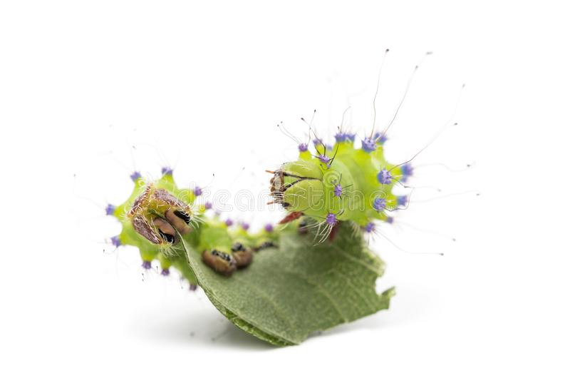 Caterpillar of the Giant Peacock Moth eating leaf, Saturnia pyri. Against white background stock photography