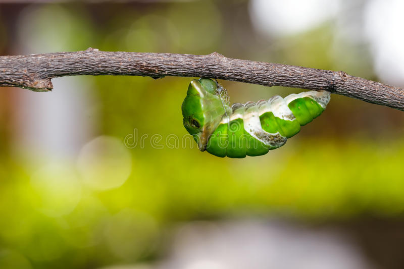 Caterpillar of great mormon butterfly before molting to pupa. Caterpillar of great mormon butterfly hanging on twig before molting to pupa stock image