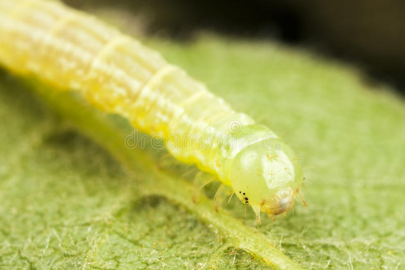 Download Caterpillar On A Green Leaf Stock Photo - Image: 25242160