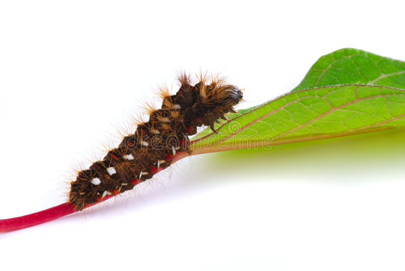 Download Caterpillar on green leaf stock photo. Image of view, crawling - 6910092