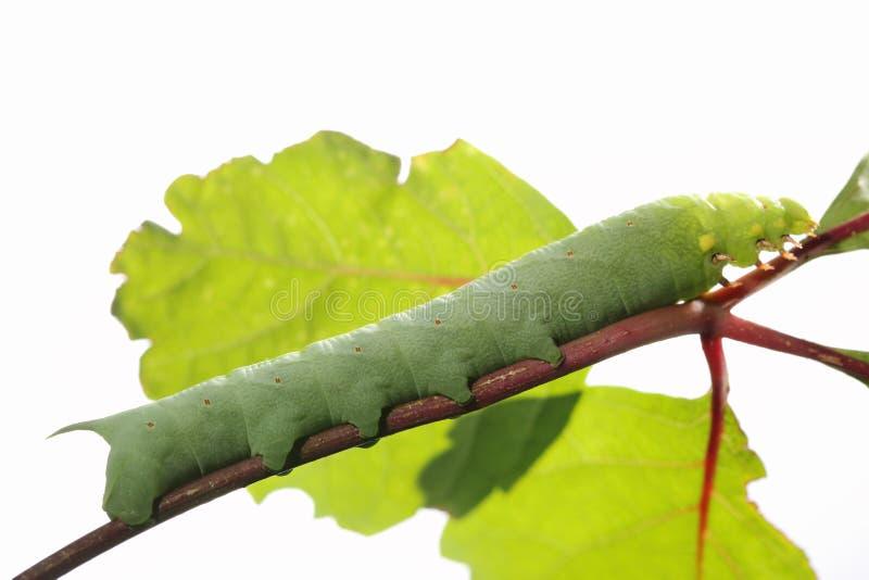 Caterpillar on green leaf. Caterpillar on green leaf,closeup royalty free stock photos