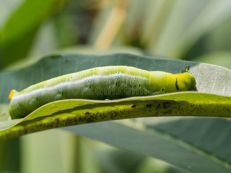 Caterpillar ha camminato immagini stock libere da diritti