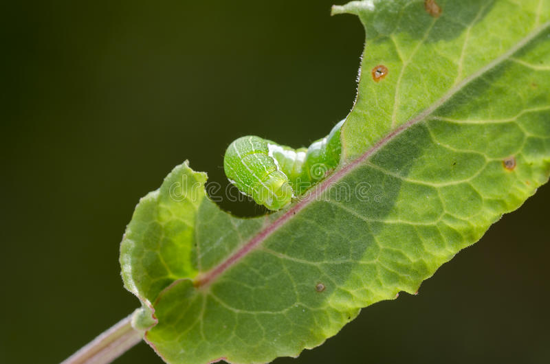 Caterpillar. Hebrew character Orthosia gothica caterpillar on a leaf stock photos