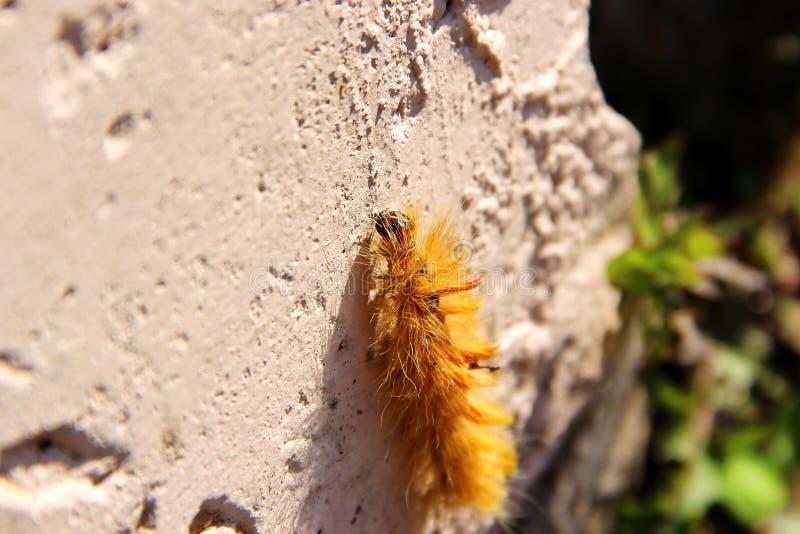 Caterpillar lanoso arancio che striscia su una pietra fotografia stock