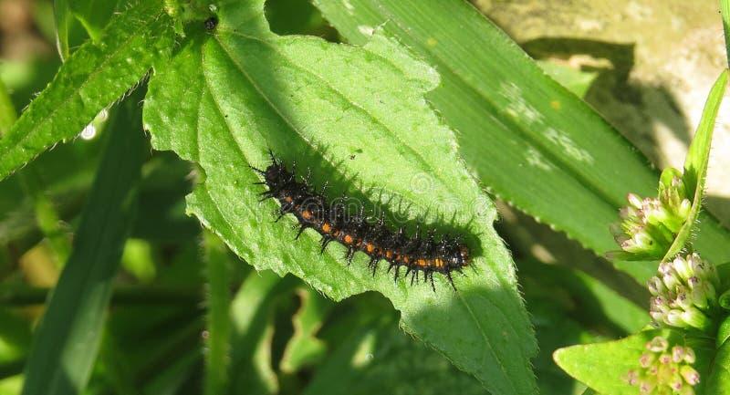 Caterpillar, Larva, Insect, Invertebrate royalty free stock images