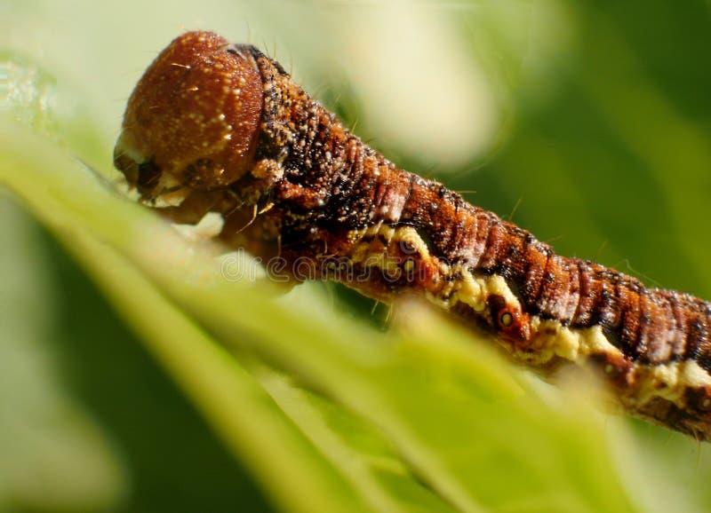 Caterpillar, Larva, Insect, Macro Photography royalty free stock photo