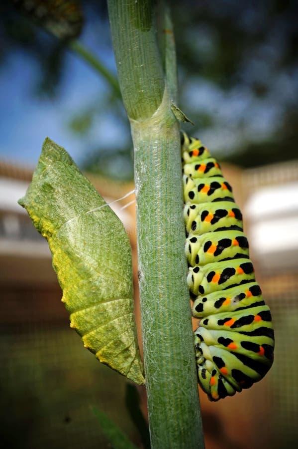 Caterpillar, Larva, Leaf, Flora stock image