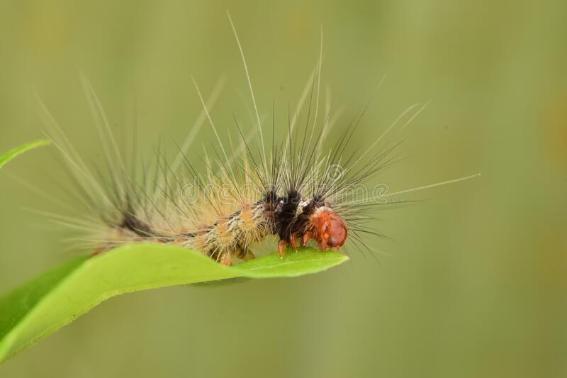 CaterPillar on the leaf macro close up stock photography