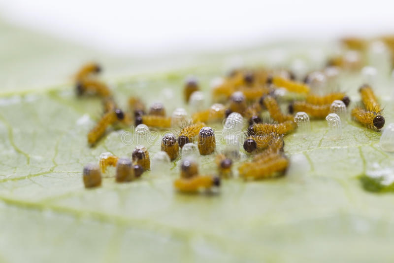 Caterpillar of Leopard lacewing & x28;Cethosia cyane euanthes& x29; butter. Fly emerging from eggs and eating their eggs royalty free stock images