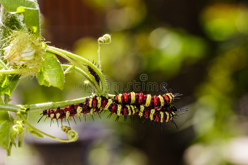Caterpillar of Leopard lacewing (Cethosia cyane euanthes). Butterfly eating food royalty free stock images